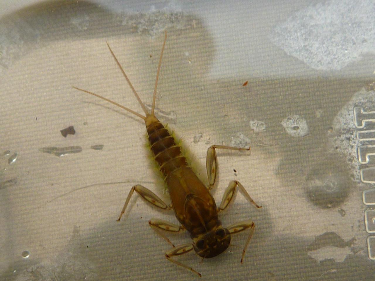 Une larve plate